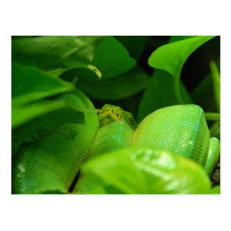 green tree python snake postcard