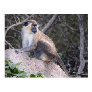Green Vervet Monkey Nevis, West Indies Postcard