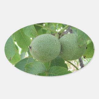 Green walnuts hanging on the tree . Tuscany, Italy Oval Sticker