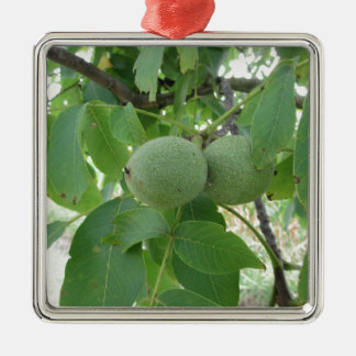 Green walnuts hanging on the tree . Tuscany, Italy Silver-Colored Square Ornament