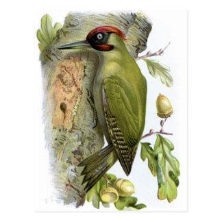 Green Woodpecker - Picus viridis Postcard
