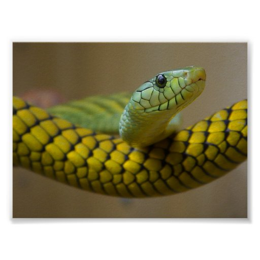 GREEN YELLOW SCALED SNAKE REPTILE PHOTOGRAPHY POSTER