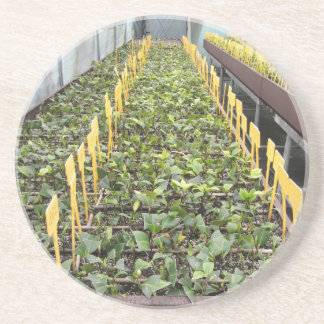 Greenhouse cultivation of Camellia japonica flower Coaster