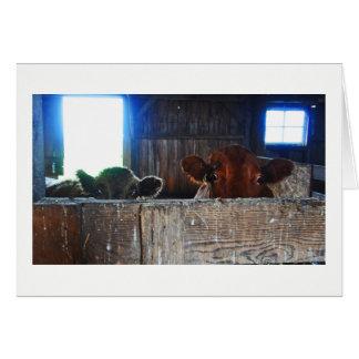Greeting Card -  Cows in Barn Looking Shocked.