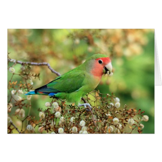 Greeting card - Rosy-faced Lovebird