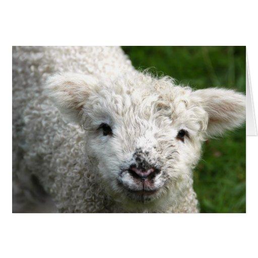 Greeting Card - Spring Lamb