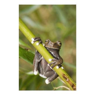 Grenouille d'arbre captive de Tapichalaca Hyloscir Impression Photo