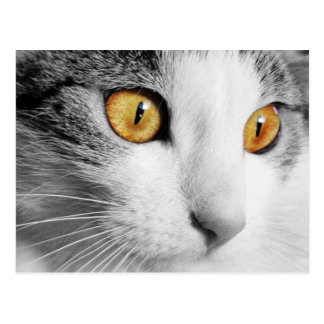 Grey and White Cat Postcard