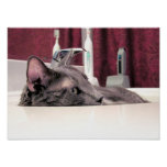 Grey Cat in Sink Poster