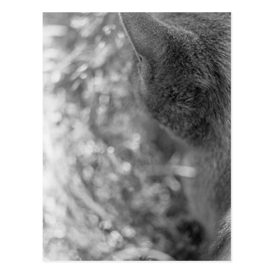 Grey Cat Watching Postcard