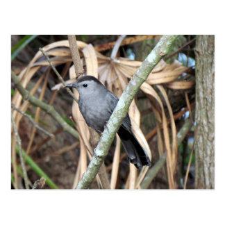 Grey Catbird Postcard