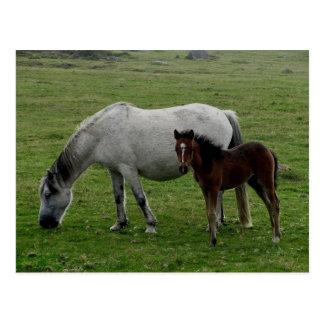 Grey Dartmoor Pony Mare  And Foal Postcard