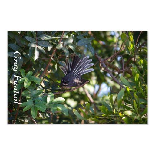 Grey Fantail Photograph