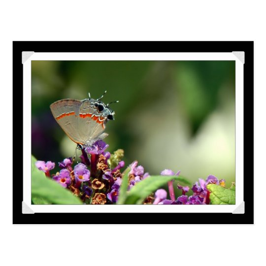 Grey Hairstreak Butterfly Photo Postcard