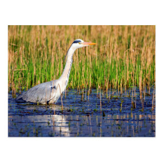 Grey heron, ardea cinerea, in a pond postcard