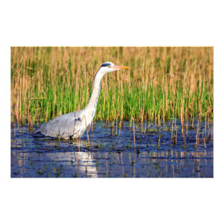 Grey heron, ardea cinerea, in a pond stationery