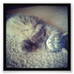 Grey Long-Haired Cat-Instagram by Shirley Taylor Art Photo
