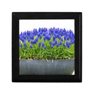 Grey metal flower box with blue grape hyacinths