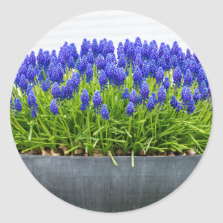 Grey metal flower box with blue grape hyacinths classic round sticker