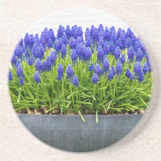 Grey metal flower box with blue grape hyacinths coaster