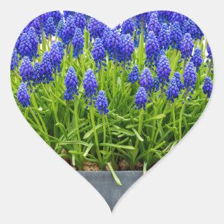 Grey metal flower box with blue grape hyacinths heart sticker