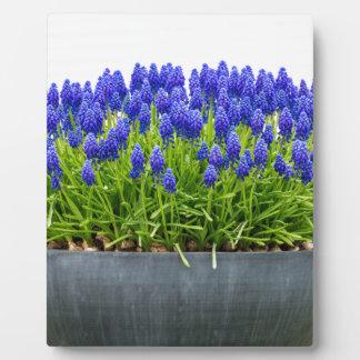 Grey metal flower box with blue grape hyacinths plaque