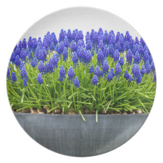 Grey metal flower box with blue grape hyacinths plate