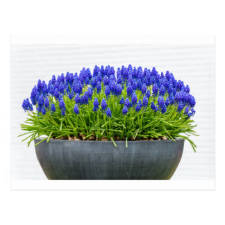 Grey metal flower box with blue grape hyacinths postcard