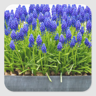 Grey metal flower box with blue grape hyacinths square sticker