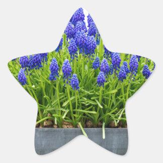 Grey metal flower box with blue grape hyacinths star sticker