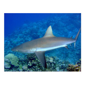 Grey Reef Shark Postcard