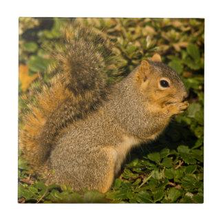 Grey Squirrel, eating, peanut, Crystal Springs 2 Tile