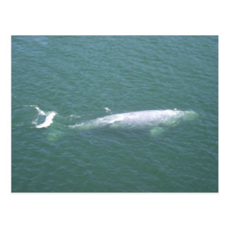 Grey Whale Postcard