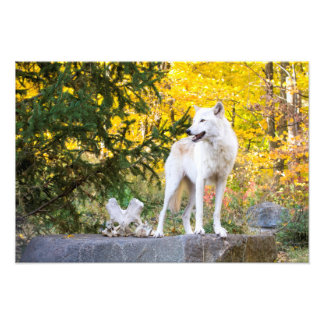 Grey Wolf, Golden Foliage Photograph
