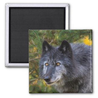 Grey Wolf Magnet
