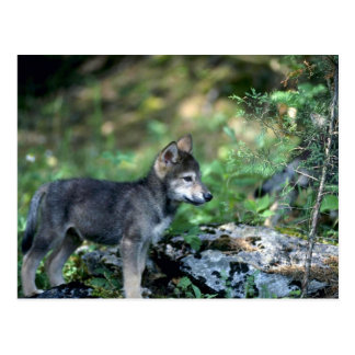 Grey Wolf-small pup in green woods Postcard