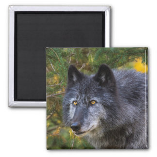 Grey Wolf Square Magnet