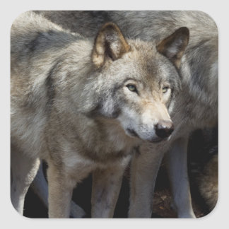 Grey wolf standing square sticker