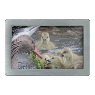 Greylag geese feeding goslings with plants on a la belt buckle