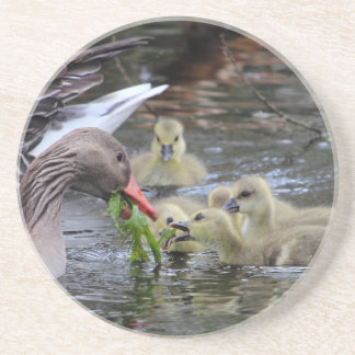 Greylag geese feeding goslings with plants on a la coasters