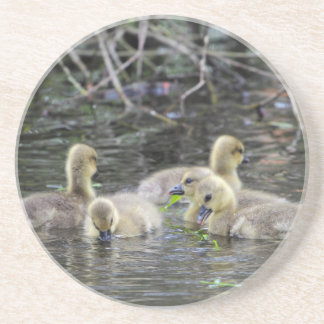 Greylag geese goslings with plants on a lake. coaster