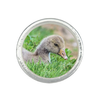 Greylag Goose Gosling Photo Ring