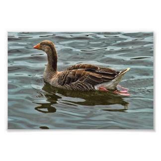 Greylag goose photo print