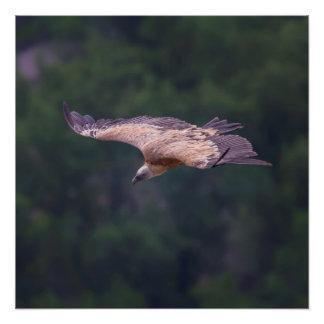 Griffon vulture, France Poster