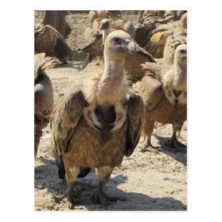 Griffon Vulture Postcard