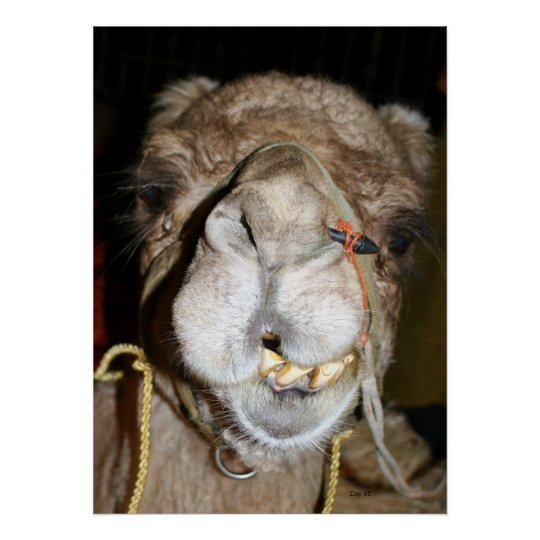 Grinning Camel Poster
