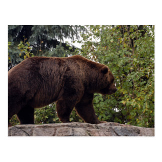 grizzly-bear-007 postcard