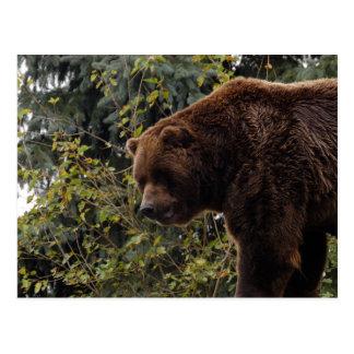 grizzly-bear-009 postcard