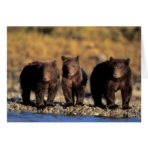 Grizzly bear, brown bear, cubs, Katmai National Greeting Cards