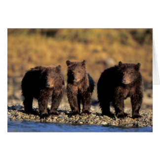 Grizzly bear, brown bear, cubs, Katmai National Greeting Card